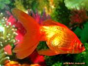 обои для рабочего стола золотая рыбка