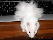 фотообои белый пушистый хомяк